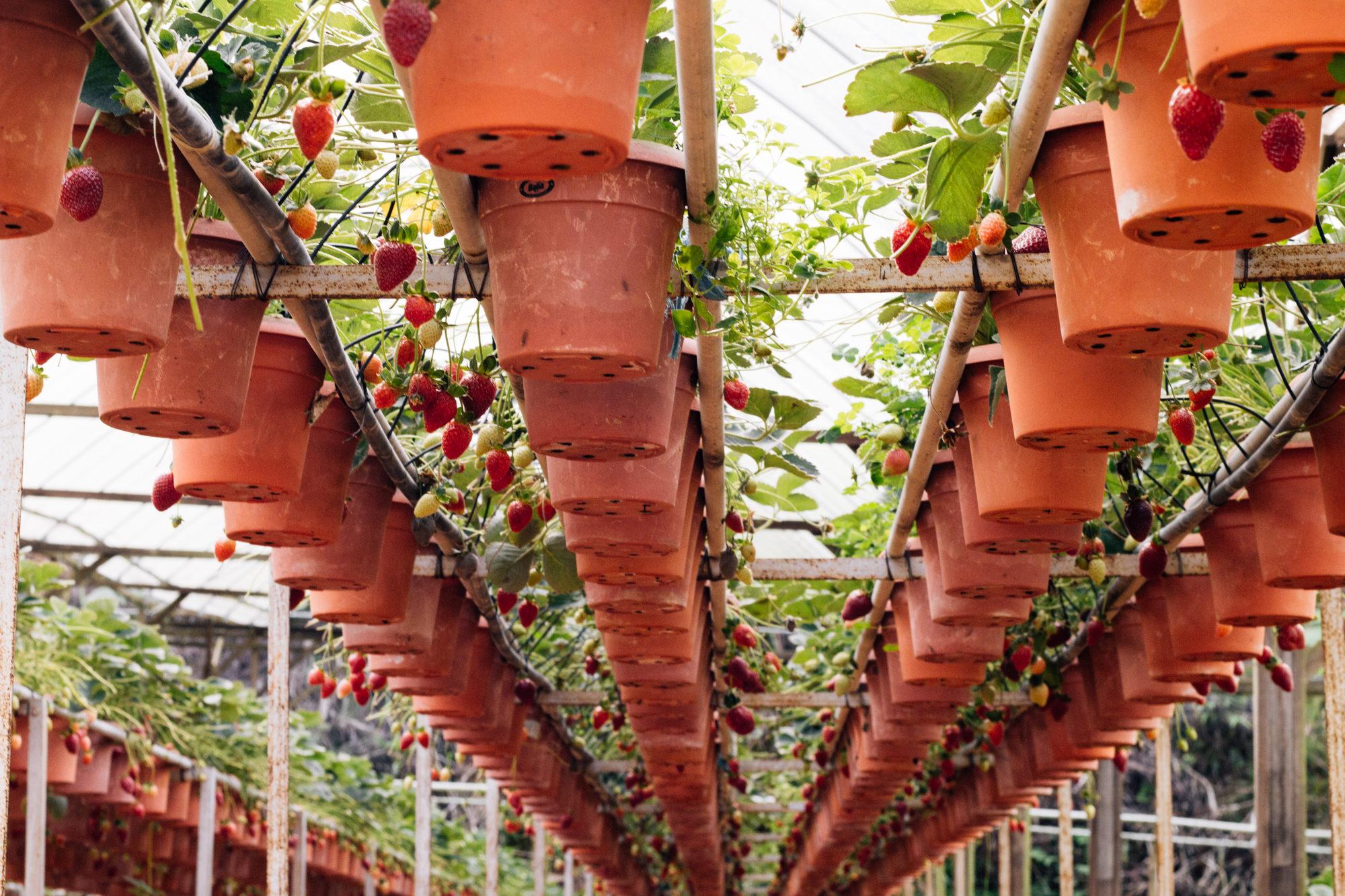 Strawberry farm, Cameron Highlands, Malaysia