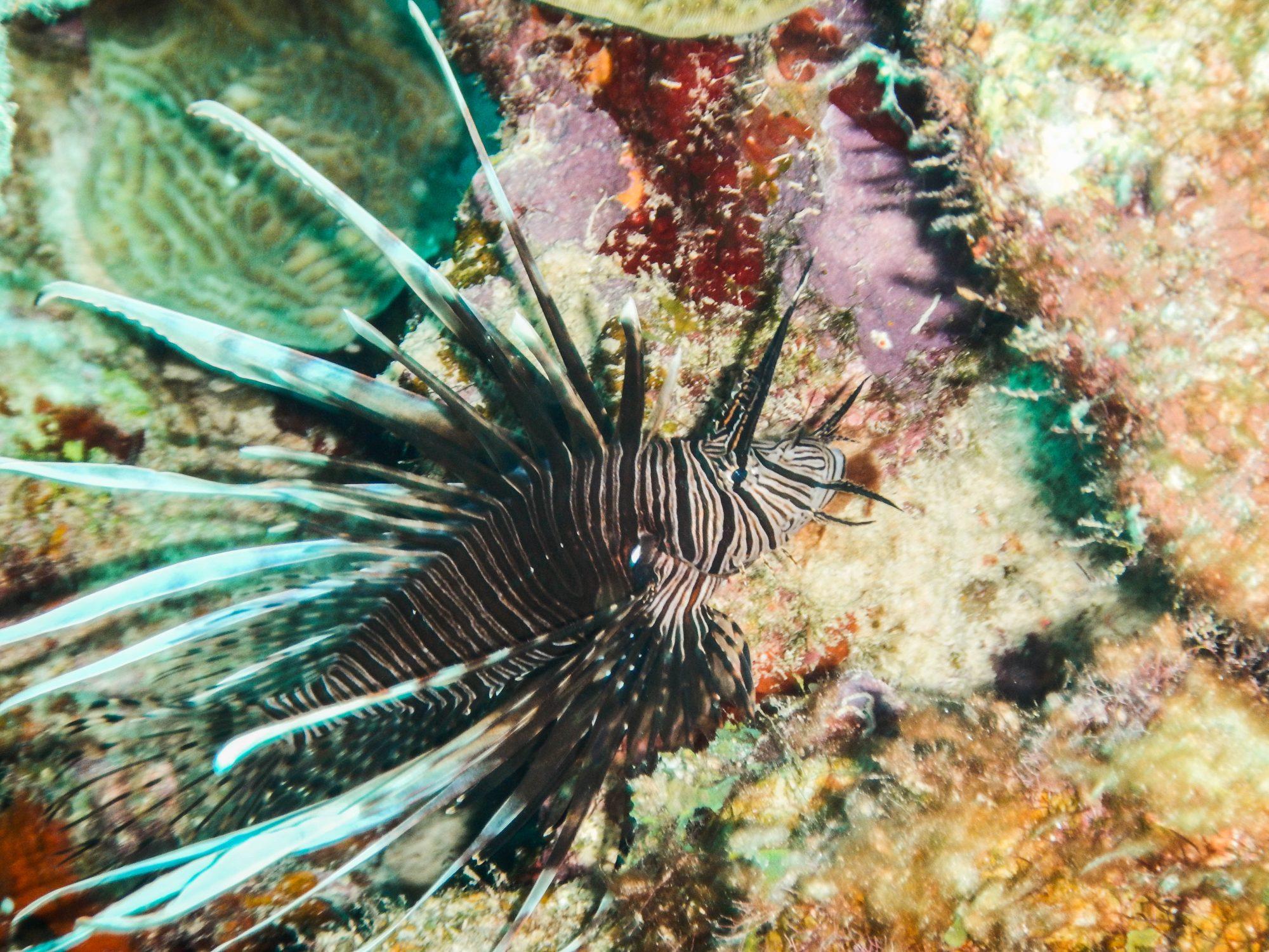 Parrot fish, Bonaire