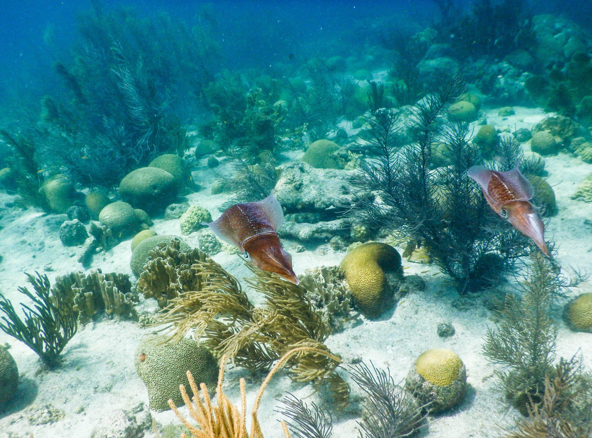 Cuttlefish, Bonaire